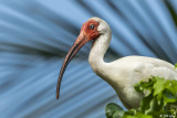 White Ibis, Little Palm Island  17