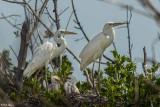 Great White Heron  18
