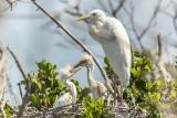 Great White Heron  22