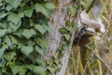 Lesser Spotted Woodpecker Dryobates minor