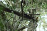 Yellow-browed Woodpeker