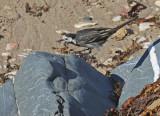 White Wagtail (British)