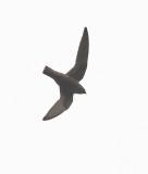 White-naped Swift