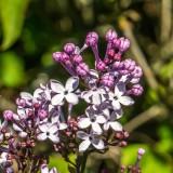 Lilac Festival 2021