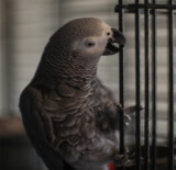 Buzzy is a Central African Gray (CAG) (Psittacus erithacus) -- hatchdate: 2004