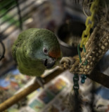 Lucy is a Festive Amazon and member of the sub-species A.f.bodoni -- hatchdate: October 2019