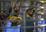 Sunny (Ara ararauna) Blue and Gold Macaw -- hatch date: 29 May 2005