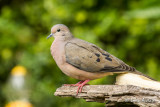 Tourterelle oreillarde - Eared Dove