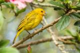 Sicale bouton-d'or - Saffron Finch