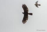 Buse Tricolore Variable Hawk - Crécerelle d'Amérique American Kestrel