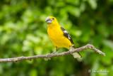 Cardinal à tête jaune - Golden Grosbeak
