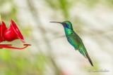 Colibri d'Anaïs - Sparkling Violetear