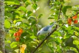 Tangara évêque - Blue-gray Tanager