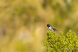Colibri du Chimborazo - Ecuadorian Hillstar
