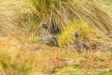 Sarcelle des Andes - Andean Teal