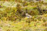 Vanneau des Andes - Andean Lapwing