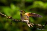 Colibri flavescent - Buff-tailed Coronet