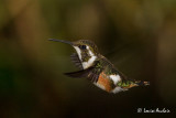 Colibri de Mulsant - White-bellied Woodstar