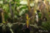 Colibri porte-épée - Sword-billed Hummingbird