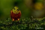 Colibri de Matthews - Chestnut-breasted Coronet