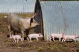 Une journée de cochon