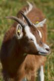 Les chèvres en vadrouille