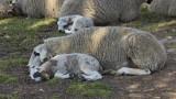 Photographie-moi un mouton !