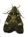 Anaplectoides prasina - 11000 - Green Arches