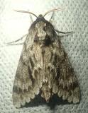 Lapara bombycoides - 7817 - Northern Pine Sphinx