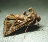 Autographa precationis - 8908 - Common Looper Moth