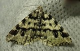 Macaria oweni - 6351 - Owen's Angle