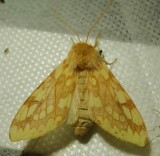 Lophocampa maculata - 8214 -Spotted Tussock Moth