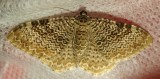 Rheumaptera prunivorata - 7292 - Cherry Scallop Shell Moth