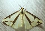 Haploa lecontei - 8111 - Leconte's Haploa Moth