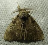 Orgyia leucostigma - 8316 - White-marked Tussock Moth