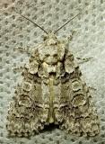 Acronicta increta - 9249 - Eclipsed Oak Dagger