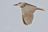 Pelicans, Cormorants, Frigatebirds & Waders