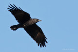 Jays, Magpie, Crows & Ravens