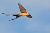 Flycatchers, Kingbirds, Shrikes & Vireos