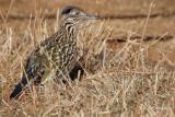 Pigeons, Doves Cuckoos & Roadrunner