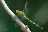 Recent Additions - Odonata