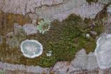 La Macarena, a Tree at Caño Piedras