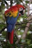 La Macarena, Macaw at Caño Piedras