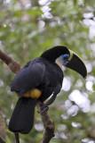 La Macarena, Toucan at Caño Piedras