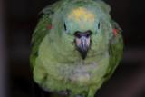 La Macarena, Parrot at Caño Piedras