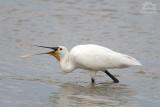Waders, Herons and Egrets