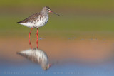 Spotted Redshank (Tring erythopus)