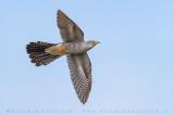 Common Cuckoo (Cuculo)