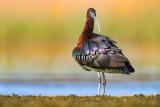 Glossy Ibis (Mignattaio)