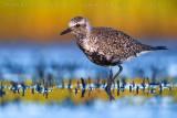 Grey Plover (Pivieressa)